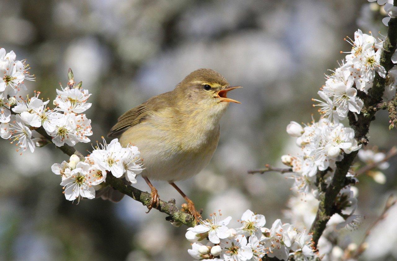 Willow Warbler   Wild About Gardens