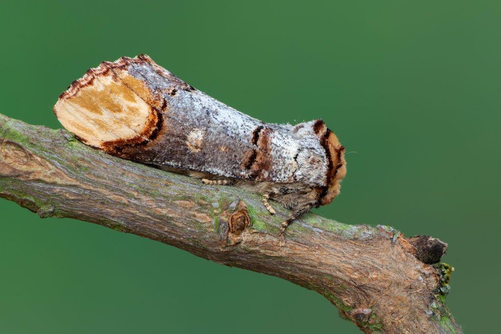 Bufftip Moth | Wild About Bath