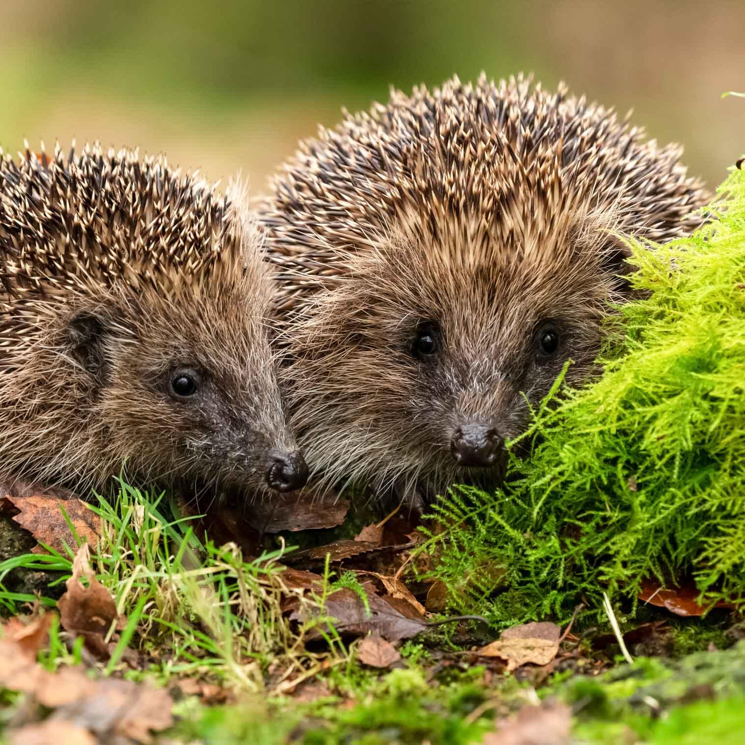 Hedgehogs | Wild about Bath