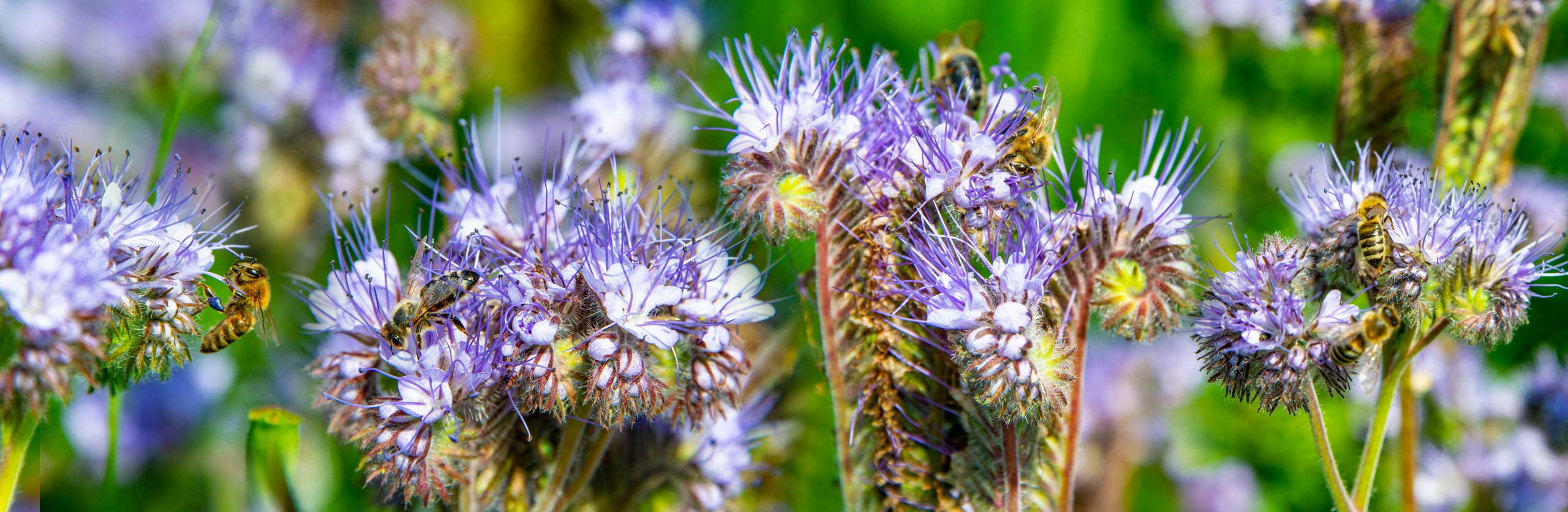 phacelia and bees