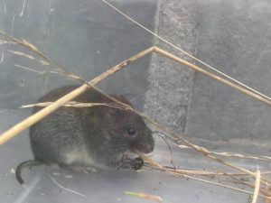 Bank Vole in a tank