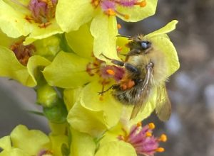 Common carder bee with orange pollen sacs on yellow mullein flower