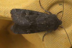 Black rustic moth