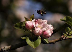 Honey bee above pink apple blossom on a branch