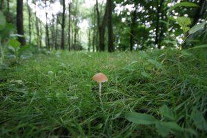 Tiny lone mushroom peeking up from undergrowth in a woodland