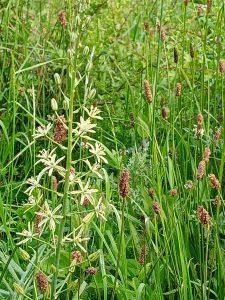 Spike of Bath Asparagus flowers in a meadow