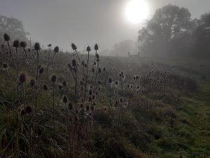 Morning cobwebs on teasels