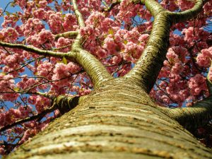 Looking at pink cherry blossom directly up the trunk of the tree